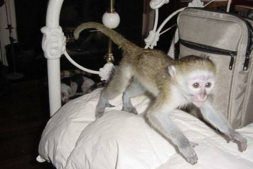 Capuchins Monkey Animals for sale in Cranford, NJ 07016, USA. price 600USD