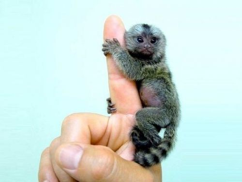 Capuchins Monkey Animals for sale in Dallas, TX, USA. price 500USD