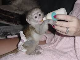 Capuchins Monkey Animals for sale in Dallas, TX 75201, USA. price 500USD