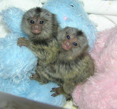 Capuchins Monkey Animals for sale in 1331 Trumbull Ave, Detroit, MI 48216, USA. price -USD