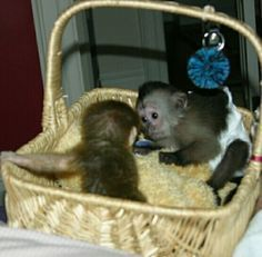 Capuchins Monkey Animals for sale in 11426 York Rd, Cockeysville, MD 21030, USA. price 550USD