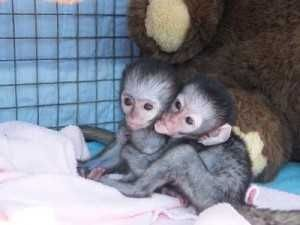 Capuchins Monkey Animals for sale in Miami, FL, USA. price 400USD