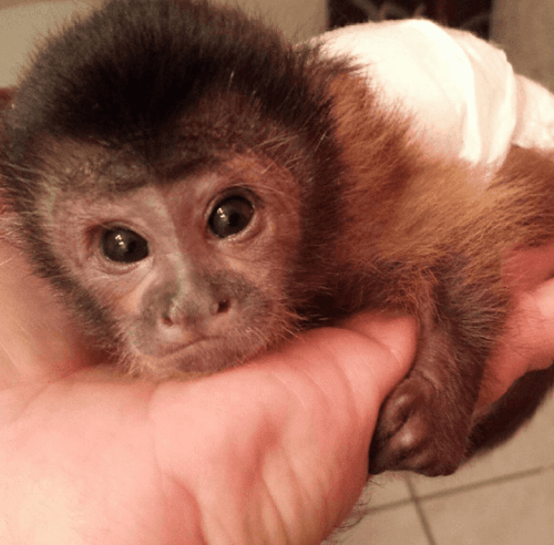 Capuchins Monkey Animals for sale in Denver, CO, USA. price 900USD
