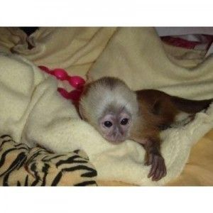 Capuchins Monkey Animals for sale in Pittsburgh, PA 15242, USA. price 400USD