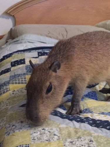Capybara Rodents for sale in Scottsdale, AZ, USA. price 1500USD
