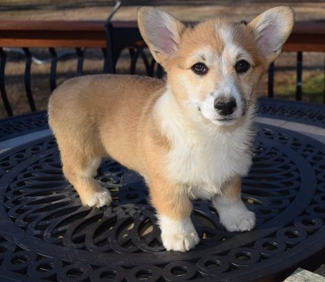 Cardigan Welsh Corgi Puppies for sale in Bridgton, ME, USA. price -USD