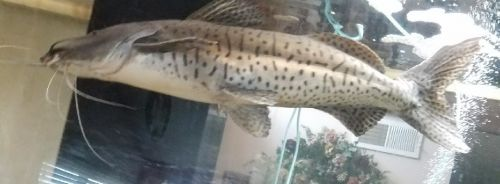 Catfish Fishes for sale in Norco, CA, USA. price 300USD