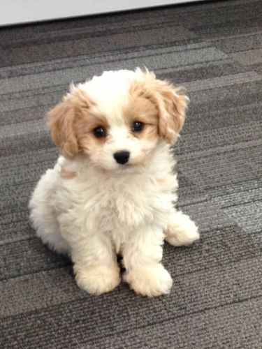 Cavachon Puppies for sale in Houston, TX 77005, USA. price 280USD
