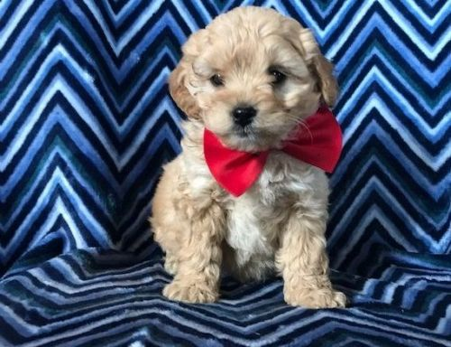 Cavachon Puppies for sale in Charlotte, NC, USA. price -USD