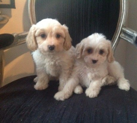 Cavachon Puppies for sale in Texas City, TX, USA. price -USD