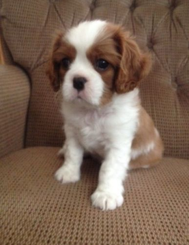 Cavalier King Charles Spaniel Puppies for sale in Glasgow, KY 42141, USA. price -USD