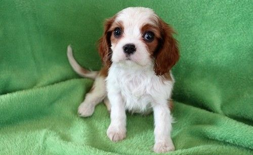 Cavalier King Charles Spaniel Puppies for sale in Boston, MA, USA. price -USD