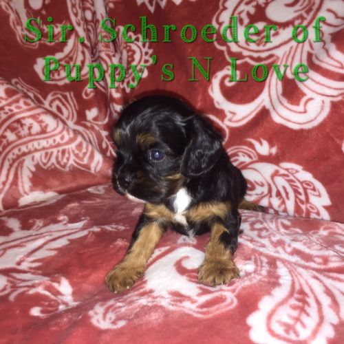 Cavalier King Charles Spaniel Puppies for sale in Phoenix, AZ, USA. price 2300USD