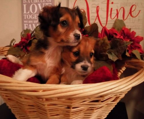 Cavalier King Charles Spaniel Puppies for sale in Clio Rd, Clio, MI, USA. price 450USD