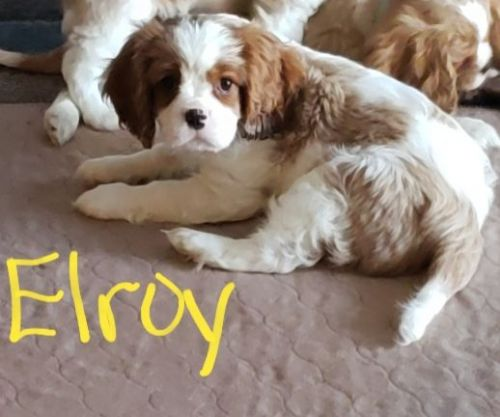 Cavalier King Charles Spaniel Puppies for sale in Medford, OR, USA. price -USD