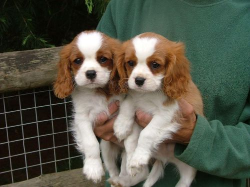 Cavalier King Charles Spaniel Puppies for sale in Houston, TX 77005, USA. price 470USD