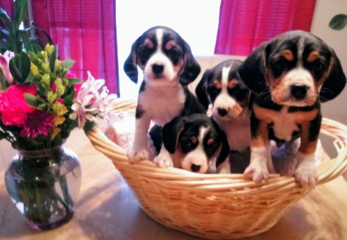 Cavalier King Charles Spaniel Puppies for sale in Clio Rd, Clio, MI, USA. price 300USD