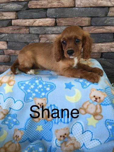 Cavalier King Charles Spaniel Puppies for sale in Odon, IN 47562, USA. price 800USD