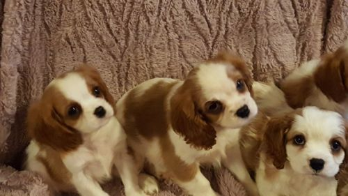 Cavalier King Charles Spaniel Puppies for sale in Houston, TX, USA. price 700USD