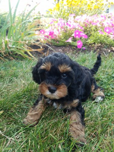 Cavapoo Puppies for sale in Unionville Center, OH, USA. price 1300USD