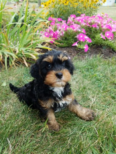 Cavapoo Puppies for sale in Unionville Center, OH, USA. price 1100USD
