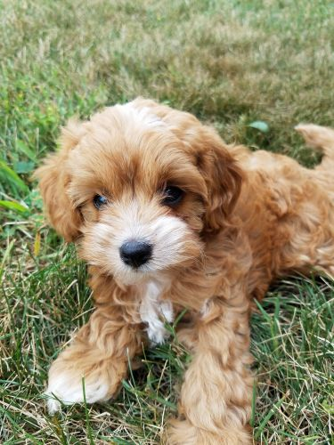 Cavapoo Puppies Sale | Clio Road, MI #8353 | Hoobly US