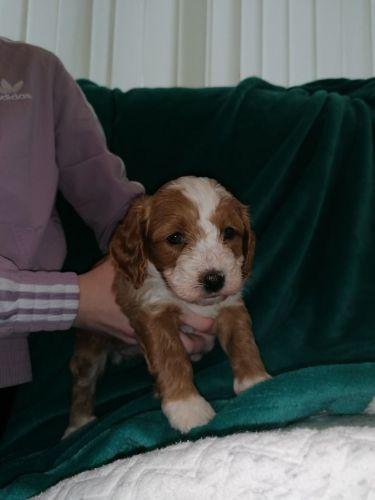 Cavapoo Puppies for sale in California City, CA, USA. price 400USD
