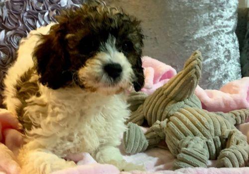 Cavapoo Puppies for sale in Las Vegas, NV, USA. price 400USD