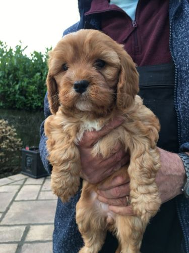 Cavapoo Puppies for sale in Charlotte, NC, USA. price -USD