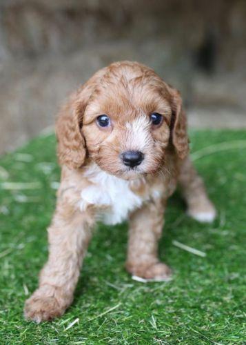 Cavapoo Puppies for sale in Dallas, TX, USA. price 1000USD