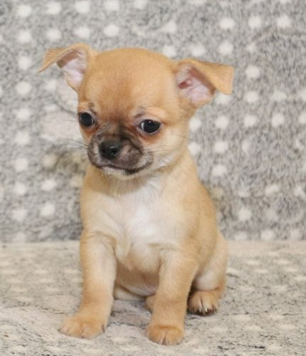 Chihuahua Puppies for sale in Washington, DC, USA. price 400USD