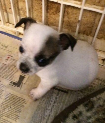 Bichon Frise Puppies Sale | Austin, TX #5308 | Hoobly US