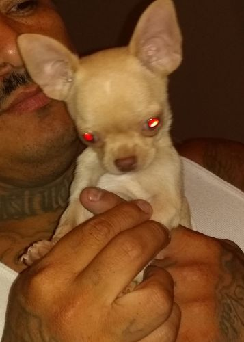 Chihuahua Puppies for sale in Sun City, AZ 85387, USA. price 1000USD