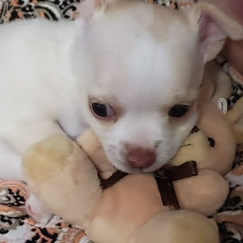 Chihuahua Puppies for sale in Warren, MI, USA. price 600USD