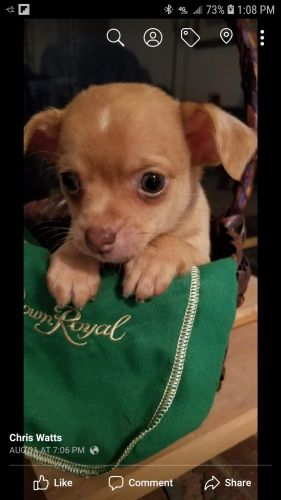 Chihuahua Puppies for sale in NC-62, North Carolina, USA. price 3366860000USD