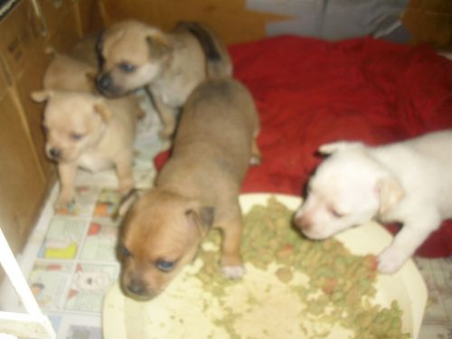 Chihuahua Puppies for sale in Marion, NC 28752, USA. price 100USD