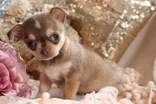 chihuahua puppies michigan chihuahua sale detroit hoobly us 7354