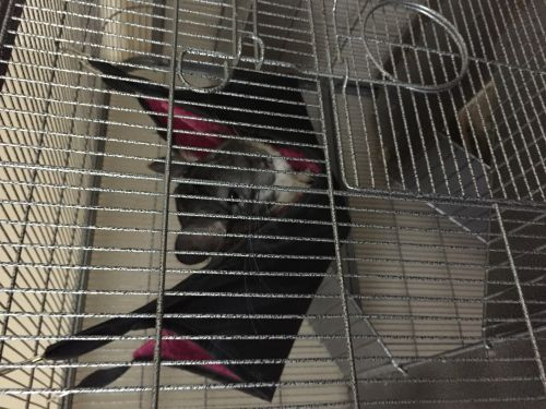 Chinchilla Rodents for sale in Bethany, OK, USA. price 250USD