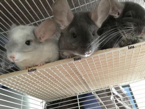 Chinchilla Rodents for sale in Talent, OR 97540, USA. price 300USD