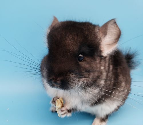 Chinchilla Rodents for sale in Raytown, MO, USA. price 250USD