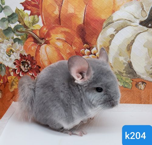 Chinchilla Rodents for sale in Raytown, MO, USA. price -USD