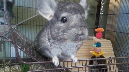 Chinchilla Rodents for sale in Sacramento, CA, USA. price -USD