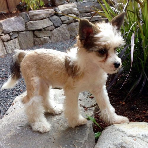 Chinese Crested Dog Puppies for sale in Indianapolis, IN, USA. price -USD