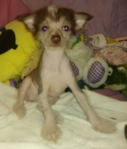 Chinese Crested Dog Puppies for sale in York, SC 29745, USA. price 800USD