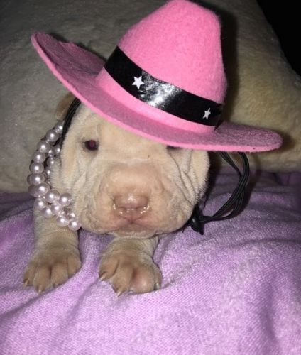 Chinese Shar Pei Puppies for sale in San Francisco, CA 94158, USA. price 500USD