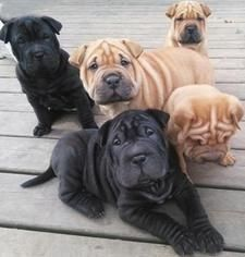 Chinese Shar Pei Puppies for sale in Houston, TX 77005, USA. price 560USD