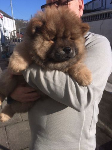 Chow Chow Puppies for sale in FL-113, Jacksonville, FL, USA. price 500USD
