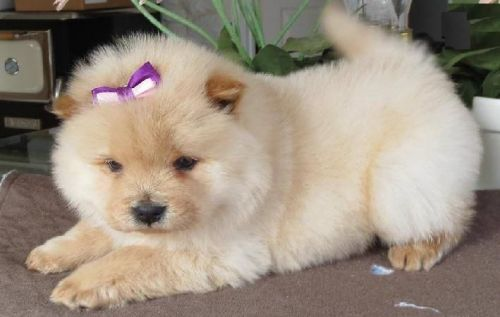 Chow Chow Puppies for sale in Los Angeles, CA 90001, USA. price 480USD