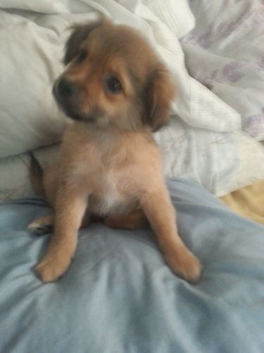 Chug Puppies for sale in Thomasville, NC 27360, USA. price 150USD