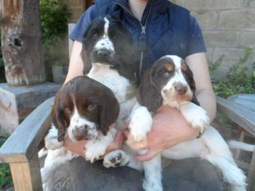 Clumber Spaniel Puppies for sale in Texas City, TX, USA. price -USD